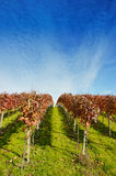 Vineyard in late summer Royalty Free Stock Image