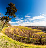 Vineyard in late winter Royalty Free Stock Photo