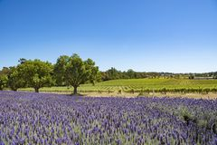 Vineyard and lavender, Barossa Valley, Australia. Vineyard and lavender, north of Adelaide, South Australia royalty free stock photos