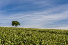 Vineyard Le Breuil. With lonely tree on the hill on a summers day Royalty Free Stock Photo