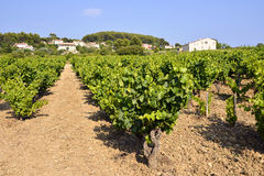 Vineyard of Le Castellet In France Royalty Free Stock Image
