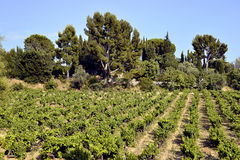 Vineyard of Le Castellet In France Royalty Free Stock Photo