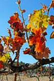 Vineyard leaf in autumn, Royalty Free Stock Photography