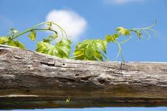 Vineyard. Leaf green vineyard under blue sky Royalty Free Stock Photography