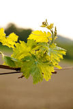 Vineyard. Leaf green vineyard under blue sky Royalty Free Stock Photo