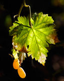 Vineyard leaves royalty free stock images