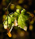 Vineyard leaves Royalty Free Stock Photo