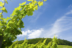 Vineyard, leaves. Alsace. France. Stock Photography