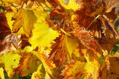 Vineyard Leaves Autumn Royalty Free Stock Photo