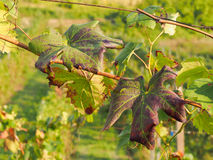 Vineyard leaves close up during autumn season Stock Photos