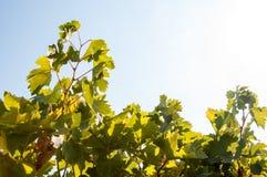Vineyard leaves Royalty Free Stock Images
