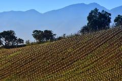 Vineyard lines. Vineyard in Tapihue, Casablanca valley, Chile Royalty Free Stock Image