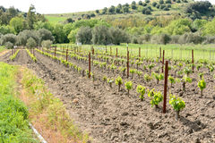 Sardinia.Vineyard royalty free stock photography