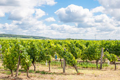 Vineyard in the Loire valley France. Royalty Free Stock Photo