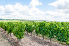 Vineyard in the Loire valley France. Stock Photography