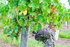 Vineyard in the Loire valley France. Stock Photos