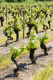 Vineyard, Loire Valley, France. One of viniculture French region Stock Photos