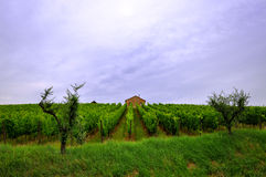Vineyard and a lonely house. Vineyard with two trees and a house as background in the Romagna hills, Italy Stock Image