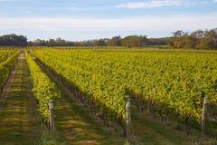 Vineyard at Long Island, New York, USA Royalty Free Stock Images