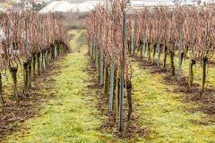 Vineyard and long lines of grapevines Royalty Free Stock Image