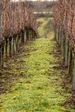 Vineyard and long lines of grapevines Stock Photography