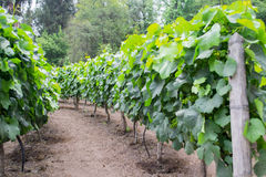 A vineyard. Look at vineyard in spring season Stock Photo