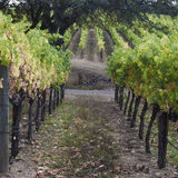 Vineyard. Looking straight down a row of vines. Autumn. Tree. Slope Stock Photography