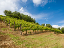 Vineyard with a lot of lush grapevines in italian hills Royalty Free Stock Images