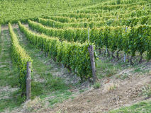 Vineyard with a lot of lush grapevines in italy Stock Photo