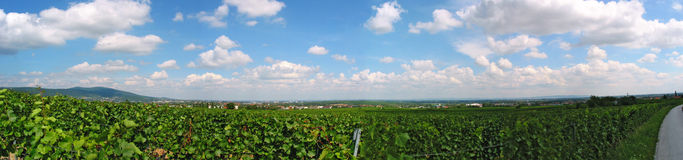 A vineyard in Lower Austria Stock Image