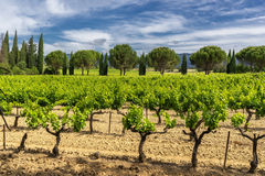 Vineyard in the Luberon Stock Images