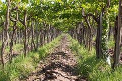 Vineyard, Lujan de Cuyo, Argentina Royalty Free Stock Photo