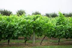 Vineyard, Lujan de Cuyo, Mendoza Stock Photos