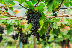 Vineyard with Lush at morning late. Royalty Free Stock Photos