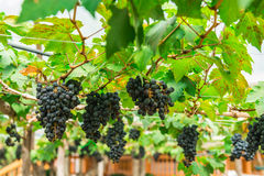 Vineyard with Lush at morning late. Royalty Free Stock Image
