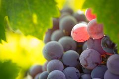 Vineyard with Lush, Ripe Wine Grapes on the Vine Ready for Harve Stock Photography