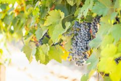 Vineyard with Lush, Ripe Wine Grapes on the Vine Ready for Harvest Royalty Free Stock Photos