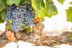 Vineyard with Lush, Ripe Wine Grapes on the Vine Ready for Harvesting Stock Images