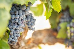 Vineyard with Lush, Ripe Wine Grapes on the Vine Ready for Harvest Stock Photo