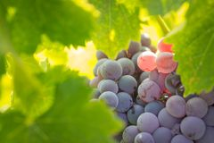 Vineyard with Lush, Ripe Wine Grapes on the Vine Ready for Harve Stock Photos