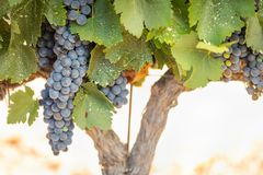 Vineyard with Lush, Ripe Wine Grapes on the Vine Ready for Harvesting Stock Photo