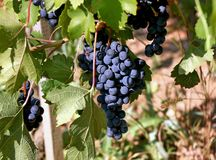 Vineyard with lush, ripe wine grapes on the vine. Ripe bunch of grapes in the vineyard stock photos