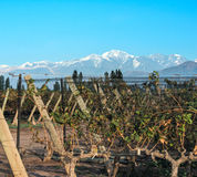 Vineyard in Maipu, Argentine province of Mendoza Stock Image
