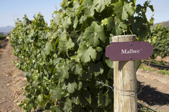 Vineyard - Malbec Royalty Free Stock Images