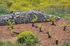 Vineyard on Malta. Small vines planting on Malta and yellow flowers behind the stone wall Royalty Free Stock Photos