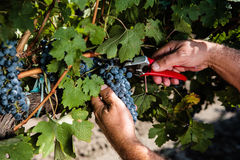 Vineyard. Man working in a vineyard Stock Photos
