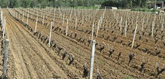 Vineyard in March. Vineyard of Cannonau in a sunny day of March Stock Photos