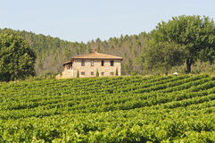 Vineyard in Maremma (Tuscany) Stock Images