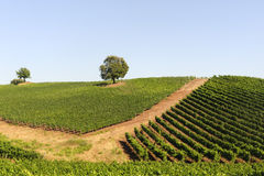 Vineyard in Maremma (Tuscany) Stock Photography