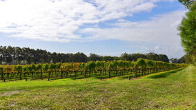 Vineyard at Margaret River, Western Australia Stock Image